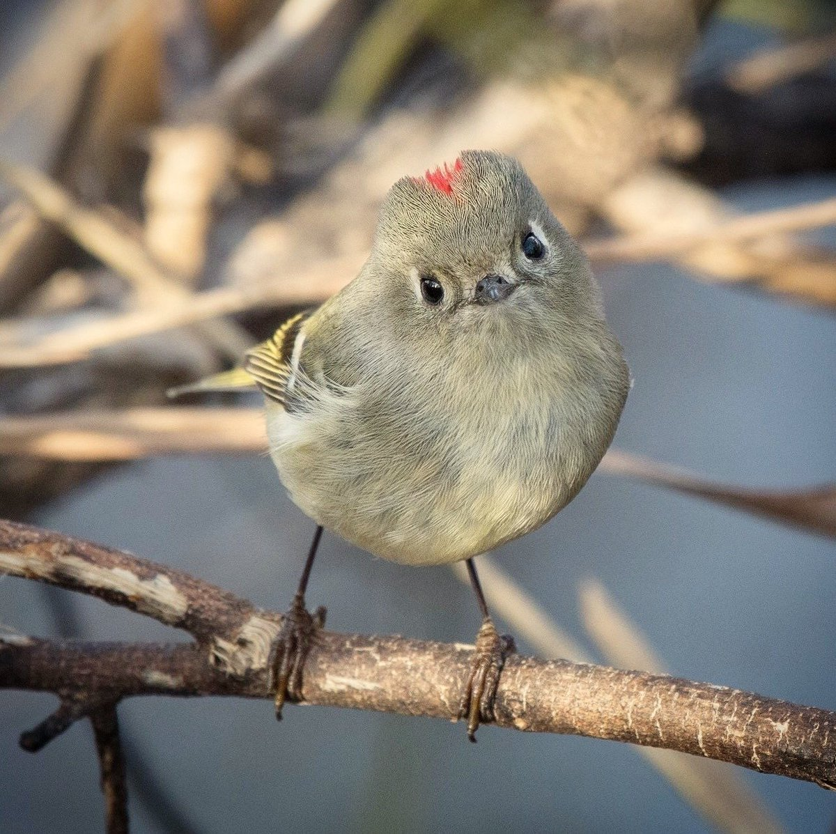 We interrupt your daily twitter scrolling to bring you this photo of this Ruby-crowned Kinglet because... look at that face 😍. Drop a like and continue your day.