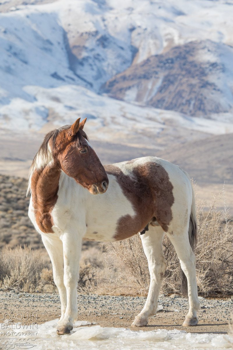 Joaquin Baldwin A Twitteren A Wild Horse Drinks From The Melting Ice On The Soldier Meadows Road Of The Black Rock Desert Nevada The Pinto Coloring Of This Mustang Had To Be