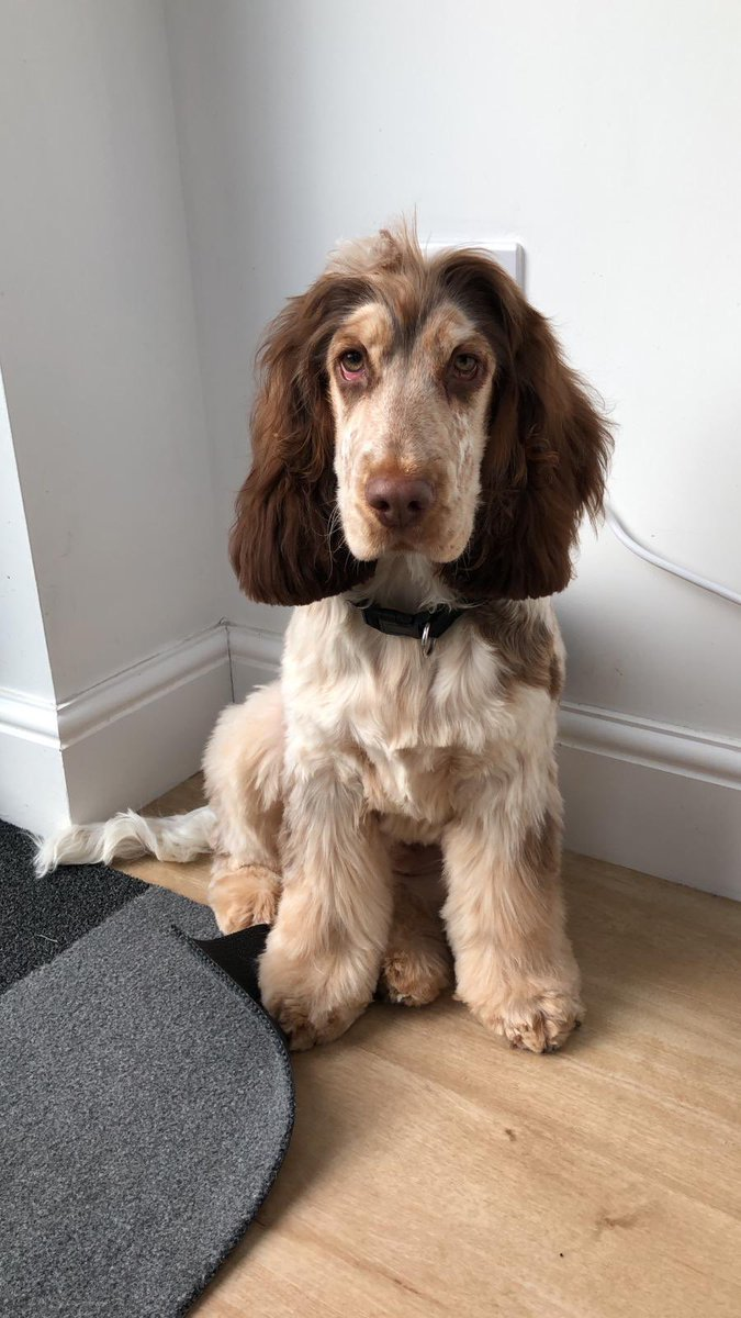 Darrell Jordan On Twitter So Someone S Been To The Dog Groomer Today And He Is Looking Rather Dapper To Say The Least Cockerspaniel Cocker Spaniel Showcockerspaniel Sable Sablecocker Https T Co Whqrfusy3a