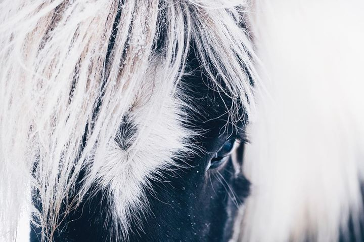 Icelandic horses feature in a lot of Icelandic sagas, have you heard any of these tales? Drop a comment below if you have!  . . 📸 by @catgbeck  . . #horsesoficeland #bustraveliceland #icelandichorse #fridheimar #icelandadvice http://bit.ly/2g2bs0a