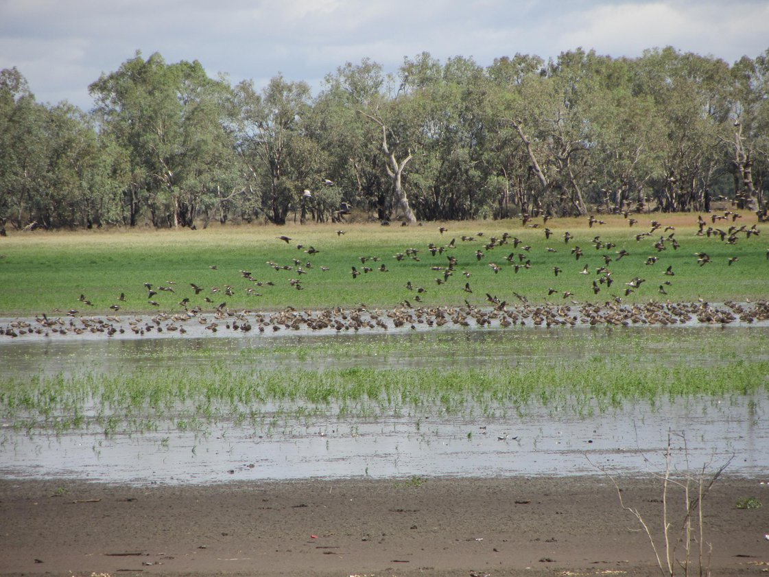 Why are fluctuating water levels important for local wetlands and their surrounding communities?  Tap the link to find out http://www.vewh.vic.gov.au/__data/assets/pdf_file/0003/342534/4.2.03-FS03-What-does-environmental-watering-aim-to-achieve.pdf …