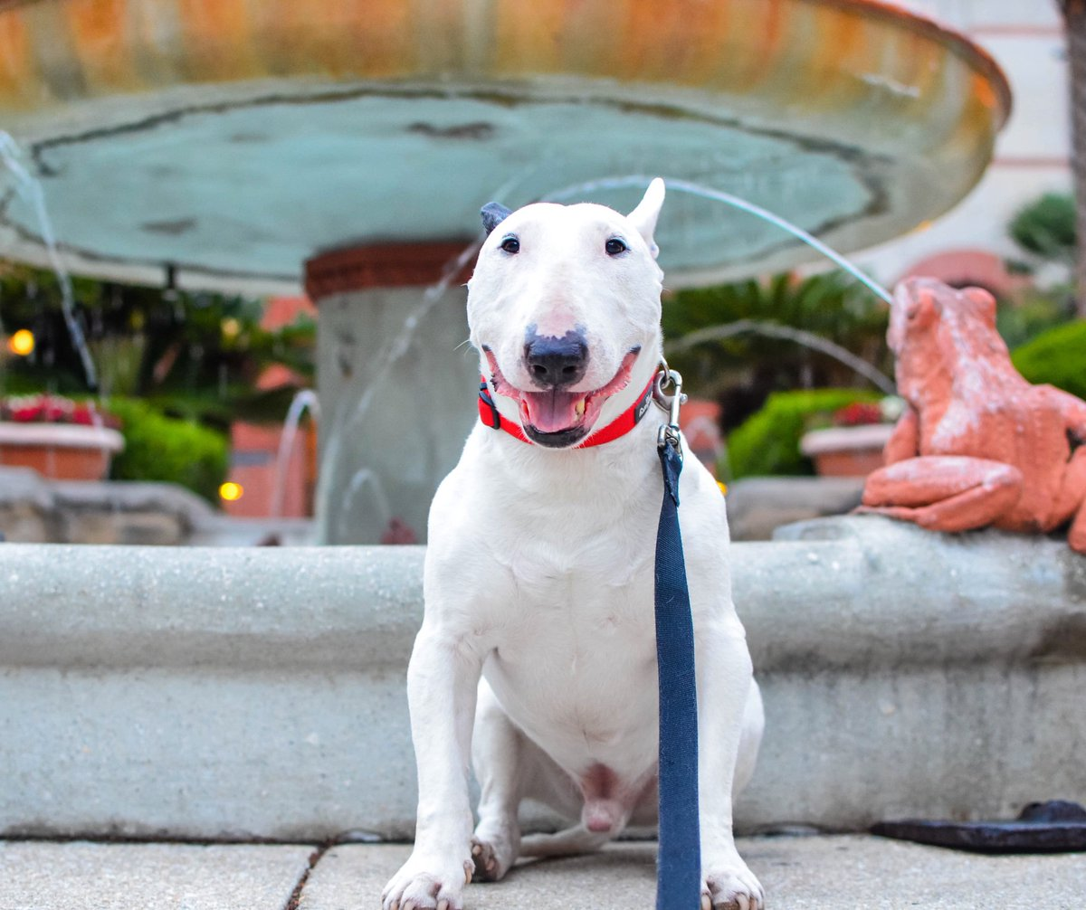 Hanging out in Sunny Central Florida for January! So far I've explored America's oldest city: St. Augustine and I want to see some more of old America around the area! What's cool in Florida? . . . #florida #staugustine #colonialflorida #traveldog #dogtravel #bullterrier #bullies<br>http://pic.twitter.com/mUIcyeVjIz
