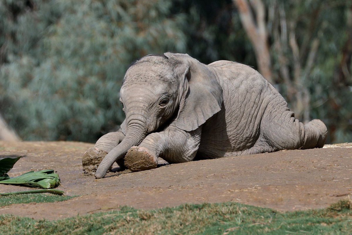 RT|@sdzsafaripark: What's your Monday mood on a scale from Kaia - 10?  #PachydermPair #MondayMotivation Dorothy Sutherland<br>http://pic.twitter.com/BTsEmfkrtz