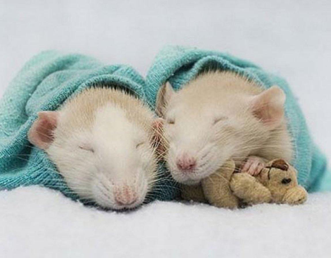 Вставить, картинки с крысой спокойной ночи