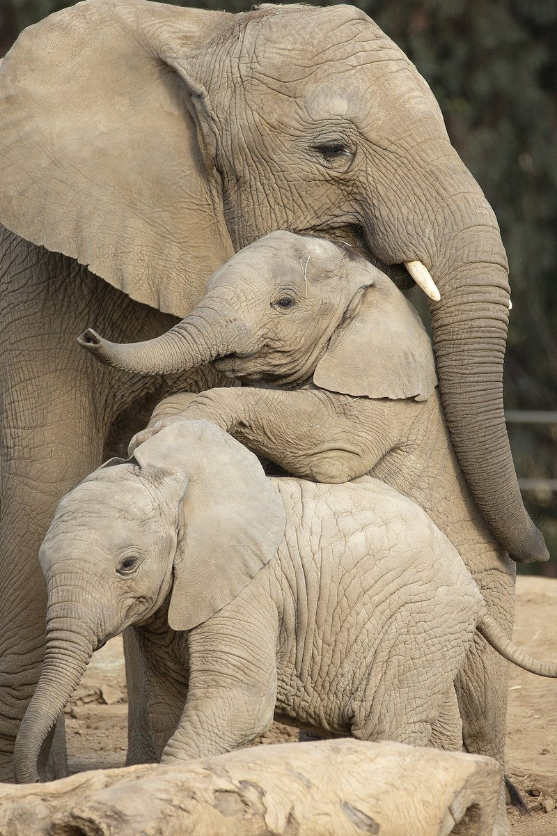 "RT|@sdzsafaripark: Stacks on stacks of pach-yderms. Zuli is in the middle of this ellie triple-decker, featuring Kaia on the bottom and ""auntie"" Qinisa on top. #pachydermpair <br>http://pic.twitter.com/RySUQkAEOR"