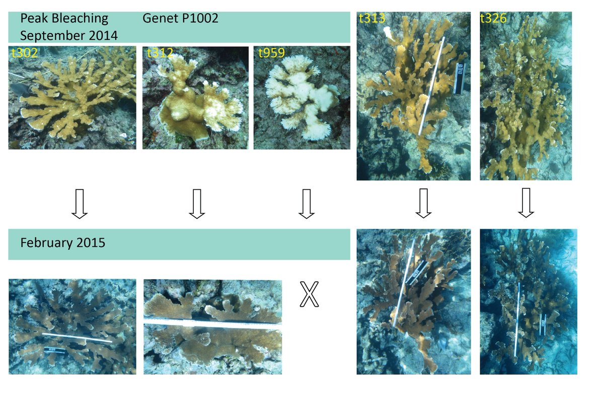 What drives phenotypic divergence among coral clonemates in response to temperature stress? Epigenetic divergence, Tepidiphilus and Endozoicomonas and microenviroment are part of the story while Symbiodinium strain diversity is not. Comment on preprint at http://disq.us/t/3ac592u