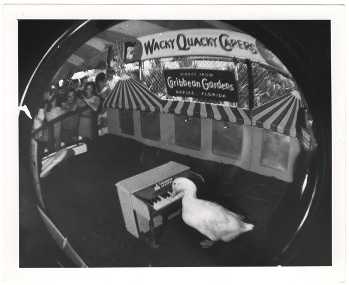 It's your ducky day, here's a wacky quacky caper courtesy of Weegee and his fish-eye!  📷 New York, 1964 #ICPCollections https://bit.ly/2AAigJE