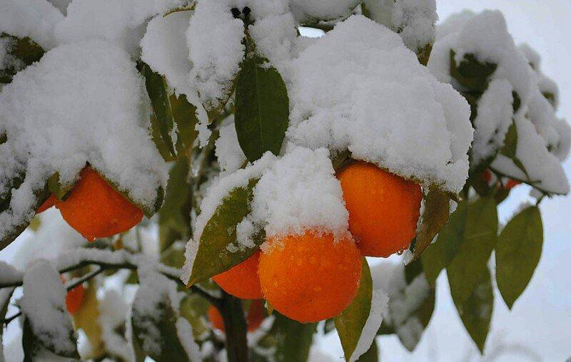 Картинки апельсины на снегу