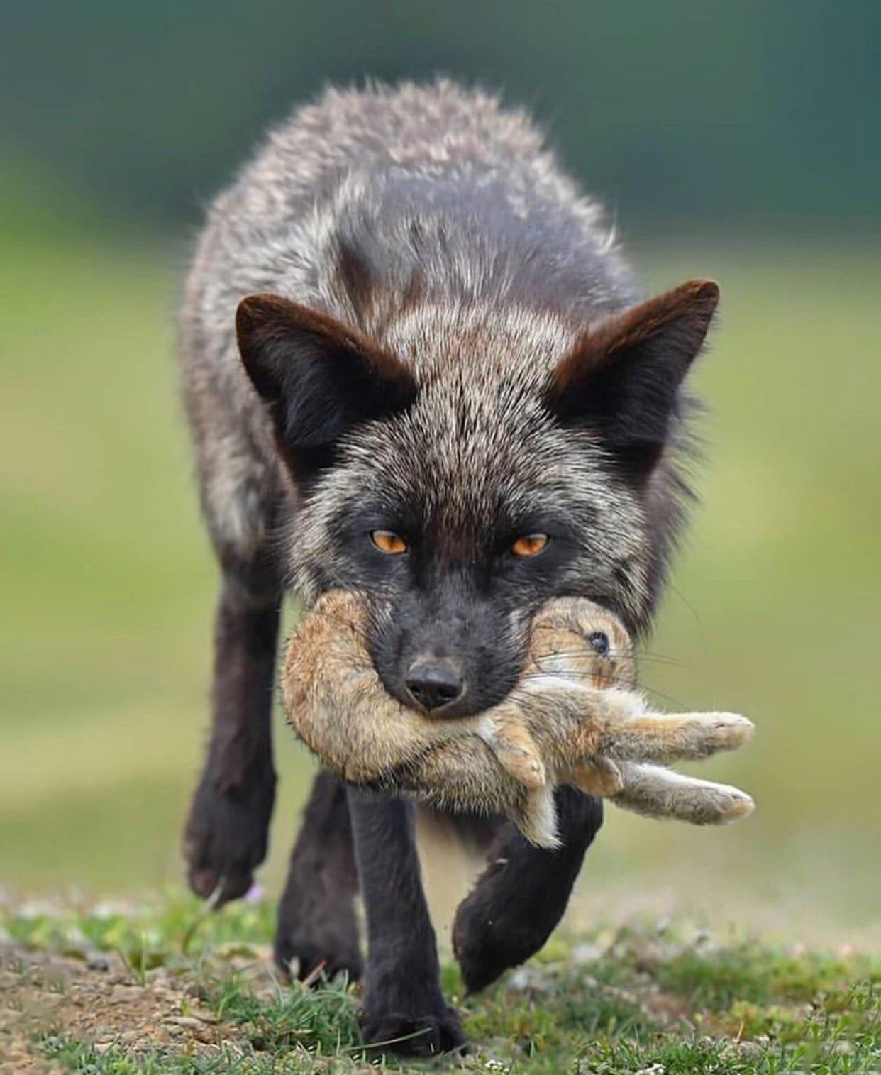 через реальные фото волков и лис обои фрегат рабочий