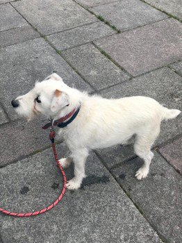 #urgent #elderly white terrier CRUMPET #lost out in the cold cold weather, already spent one night out ! #missing since 08 Jan #NewhallLane #Maltby S Yorks #S66 Owner searching on foot with group and tracking dog. Crumpet may have wandered towards Carr village.  #lostdog  #RT<br>http://pic.twitter.com/iVf9G8cJi7