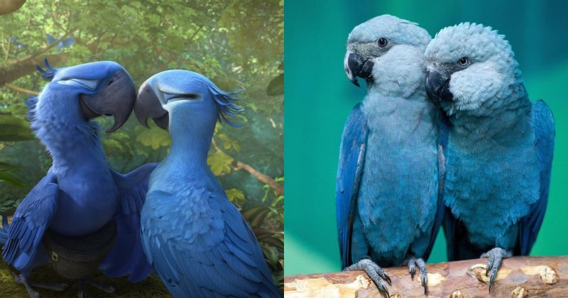 Blue McCaw Parrots Officially EXTINCT  Remember Blu, the blue macaw from the movie Rio? Hope you remember what he looked like because blue macaw parrots, declared endangered about 7 yrs ago, are now officially extinct in the wild due to a rise in deforestation &amp; loss of habitat. <br>http://pic.twitter.com/vwBik8TfQE