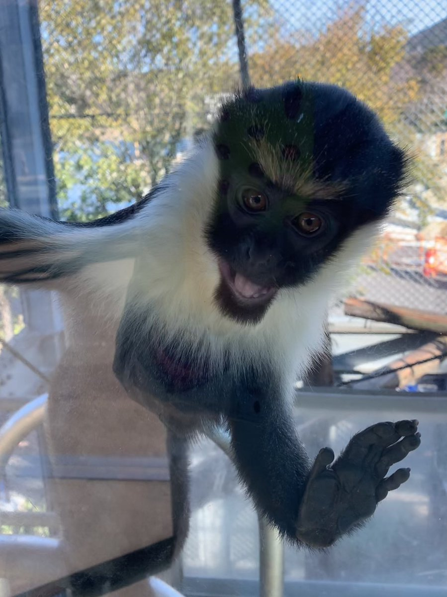 ダイアナモンキーのシャロット✨ 近づくと愛嬌を振りまいてくれます(*´꒳`*) #のんほいパーク #豊橋 #動物園 #ダイアナモンキー #愛嬌 #dianamonkey