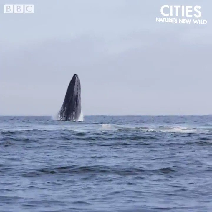 Humpback whales off the coast of New York City! 😍  #NaturesNewWild