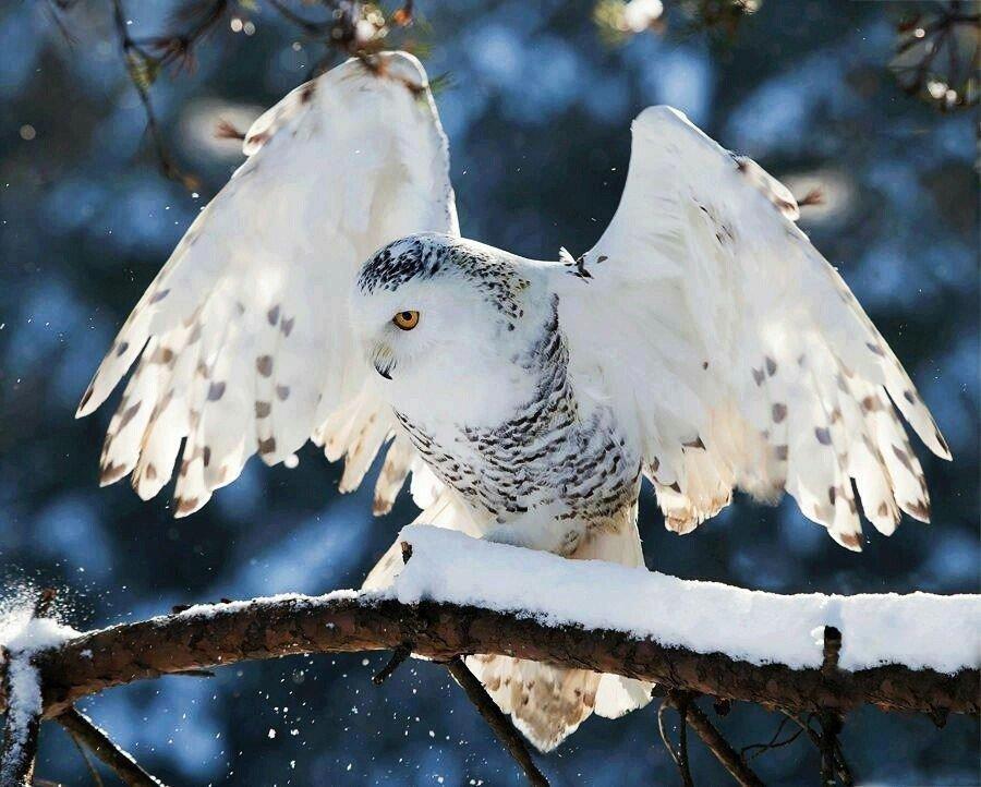 отзывам картинки белая сова зимой самое крупное