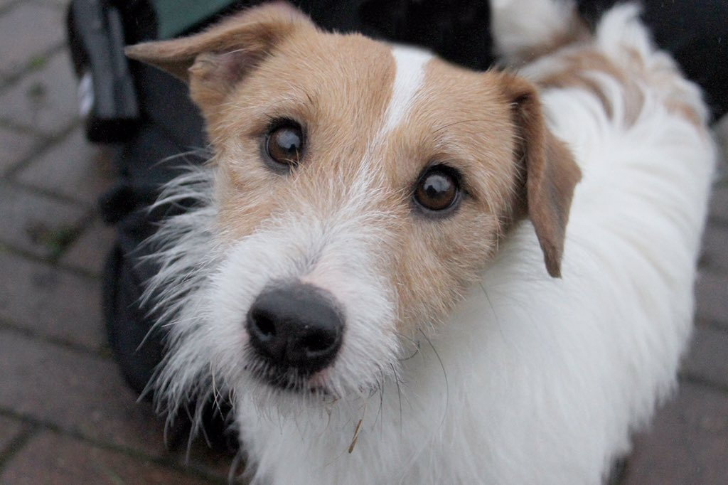 Those eyes! Max is a real sweetheart who loves cuddles! He's ready to find his forever home now! #rescuedog #manchester #adoptadog #jackrussell #jackrussellrescue #jackrusselllove #jackrussellife #puppydogeyes #bestfriend #adoptdontshop #dogcharity #adogisforlife @DogsTrust<br>http://pic.twitter.com/HtrrjRN6Kt