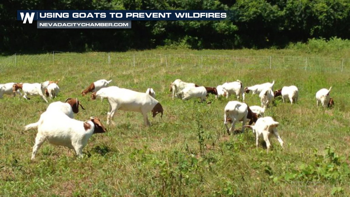 One #California community is turning to goats---that's right, GOATS---to help control the threat of #wildfires.  Details here: https://bit.ly/2TIDxYE