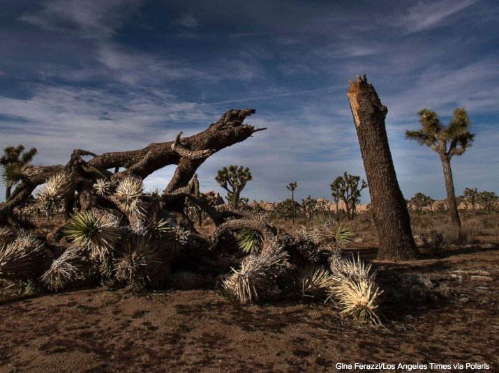 Officials at Joshua Tree National Park say some of the iconic trees and landscape have been damaged by visitors and motorists during the government shutdown.  https://t.co/R5stQeFX6O