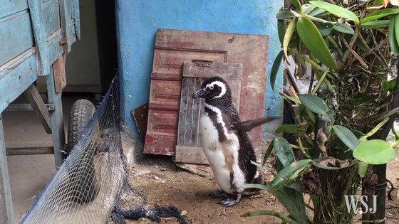 【絆】数千kmも泳いで命の恩人のもとへ毎年通うマゼランペンギンが話題に https://t.co/fVHWKHZlvK  浜辺で餓死寸前だったところを助けられて以来、毎年6月になると数千kmを泳いで男性の家までやってくるという。