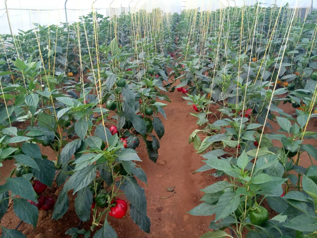 Good Agronomic Practices are baseline to insuring Nice production, We must always think about beauty and uniqueness of the farm to attract the market. #YEANCommunity on the right move towards transforming Subsitence Agr. to Market oriented farm works. #ProudToProduce. Join us