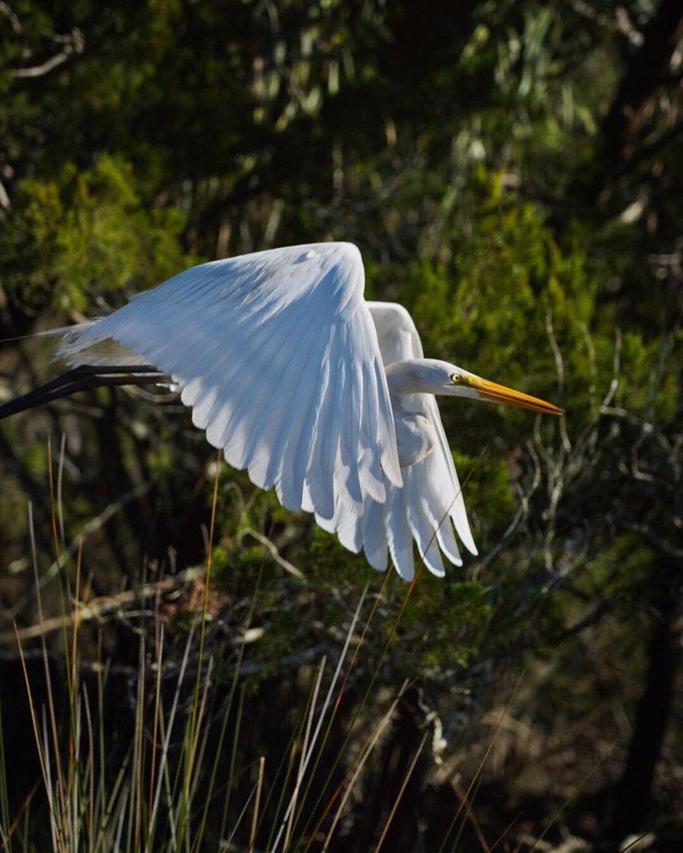 Hey Hey Hey!! It's Fly Away FriYaY!!!  Wishing Everyone an Awesome Weekend!  Egret in Flight Pic Taken with My New Camera!  #birdinflight #bif #sonya7iii<br>http://pic.twitter.com/LJaexxoJEP