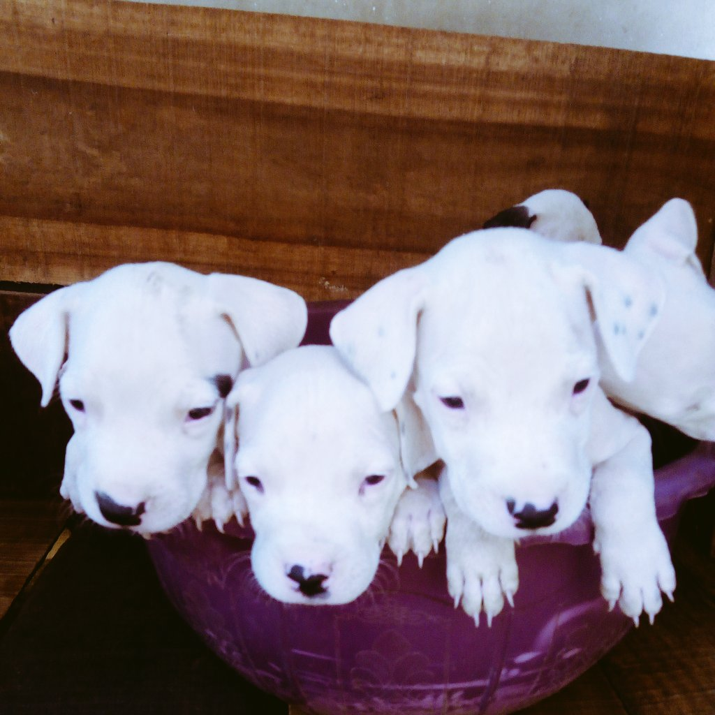 Pure Dogo argentino puppies for sale #ibadan oya hit me