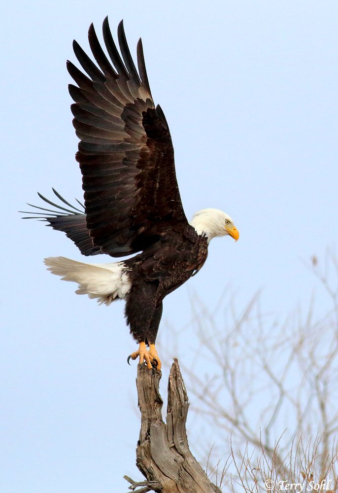 In just the course of 20 years of birding, I definitely notice more Bald Eagles hanging out in the grasslands of central South Dakota, all year long, often far from any big water body. A number of nests in the area as well.  Here&#39;s one from Wednesday. <br>http://pic.twitter.com/fwDUGd0qAJ