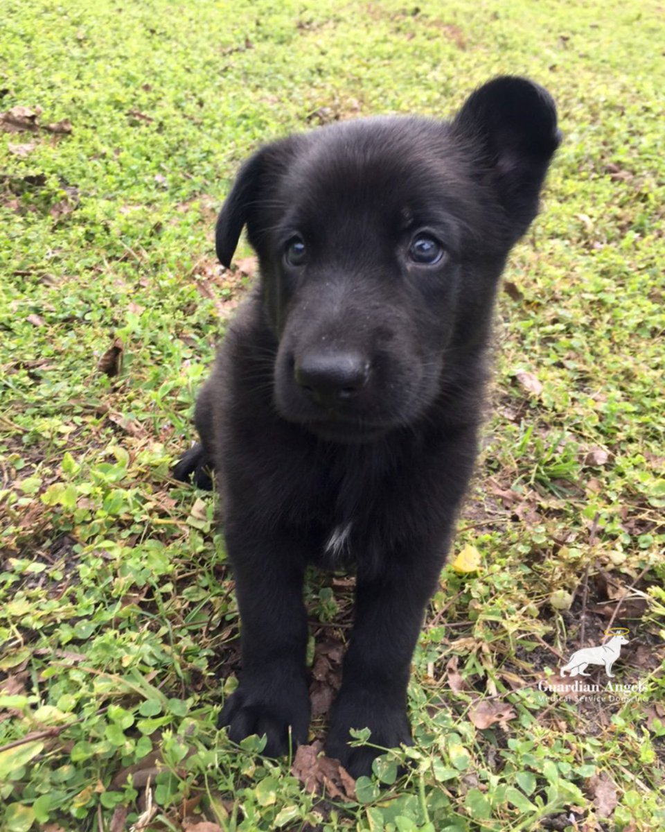It&#39;s #FurryFriday!We&#39;ve made it to the end of the week! But - can you survive this much cuteness?? One of our future Super #ServiceDogs enjoys some playtime... #Love #Family #GSD #ServiceDogs<br>http://pic.twitter.com/FuqMvzBPda