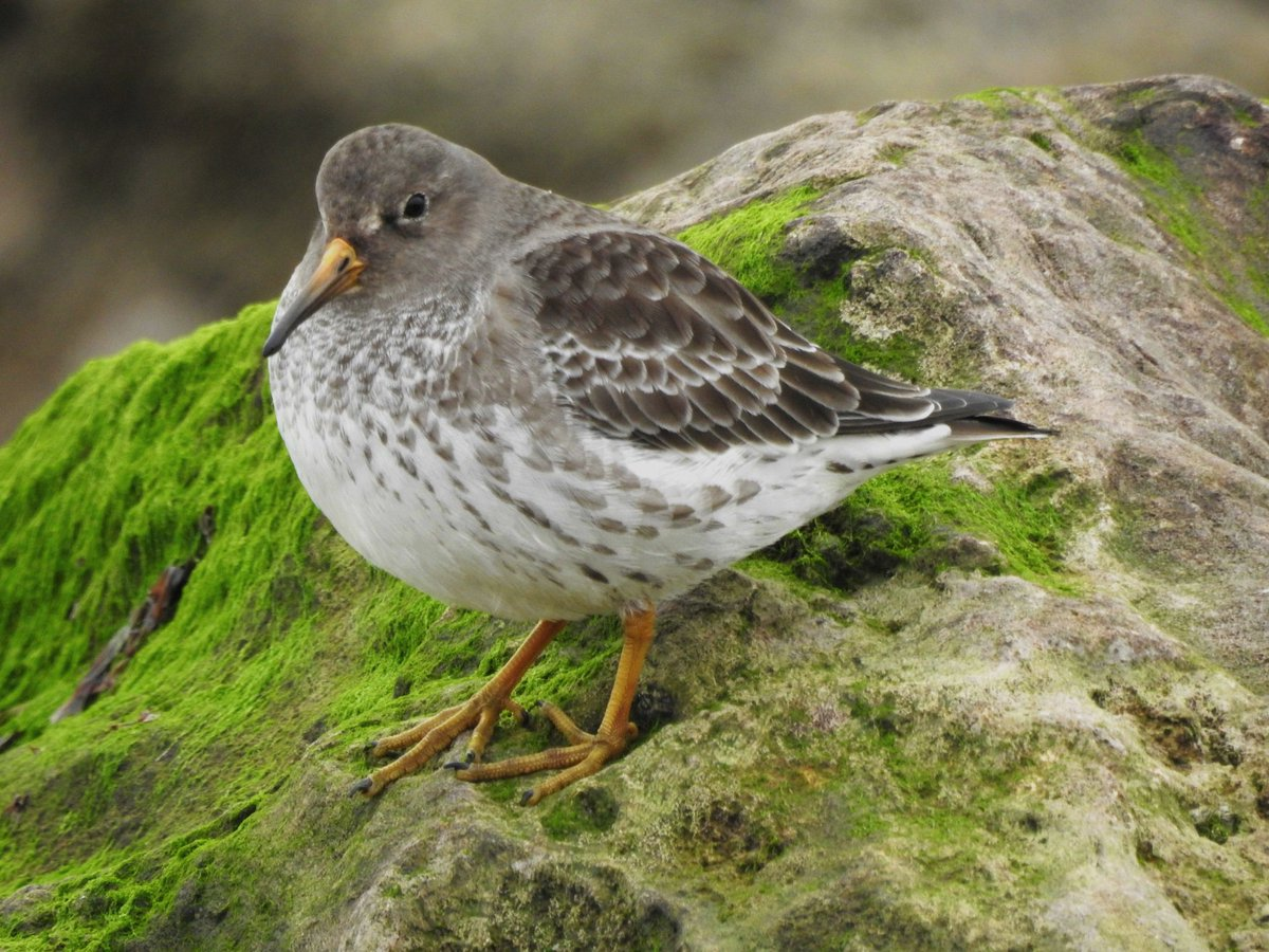 Purple Sandpiper at Hythe today<br>http://pic.twitter.com/QOUnv5AO3c