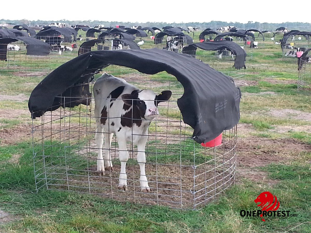 This is the truth behind those &quot;wholesome&quot; &quot;farm fresh&quot; dairy ads. Hundreds of calves isolated and crying out for their mothers while humans exploit their mothers. Many farms like this in plain sight in Okeechobee, FL.   Cow milk is for baby cows. #NationalMilkDay #ditchdairy <br>http://pic.twitter.com/Mu4CCByTn6
