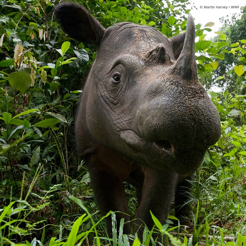 There are fewer than 80 Sumatran rhinos in the wild. The Government of Indonesia and an alliance of conservation organizations and on-the-ground experts have launched an international effort to bring the Sumatran rhino back from the brink of extinction. https://savesumatranrhinos.org/