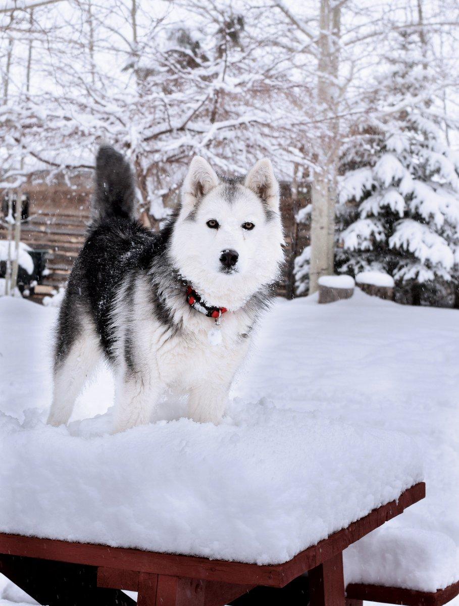 Orion enjoying the snow in Questa 📸: Amy Vialpando @KOB4 #nmwx #goodboy 🐺