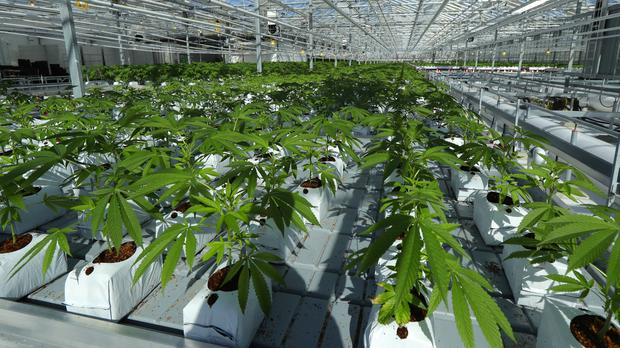 The Medical Marijuana Blog's photo on #cannabis