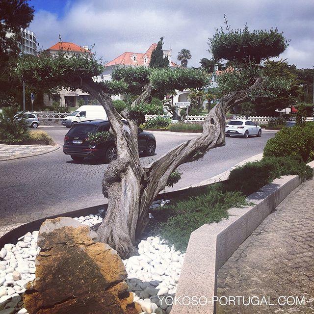 test ツイッターメディア - 盆栽風なオリーブの木。 #ポルトガル https://t.co/WoMyxQRPOz