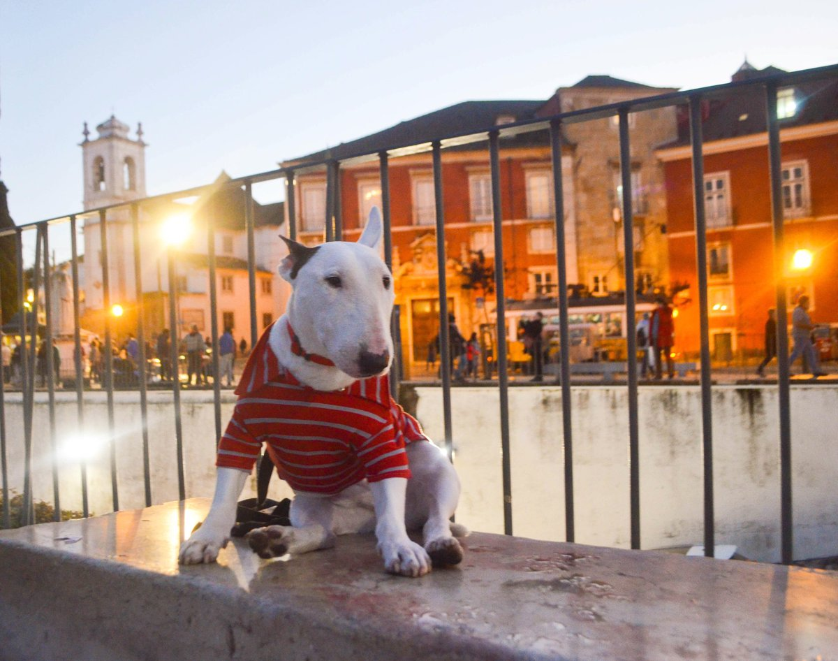 Back to where we were this time last year: Traveling around Portugal and Spain! What an awesome road trip from Barcelona to Lisbon! We've gotta go back soon! . . . #bullterriers #bullterrier #dogs #puppers #puppy #lisbon #lisboa #dogsoftwitter<br>http://pic.twitter.com/tW9w41264S
