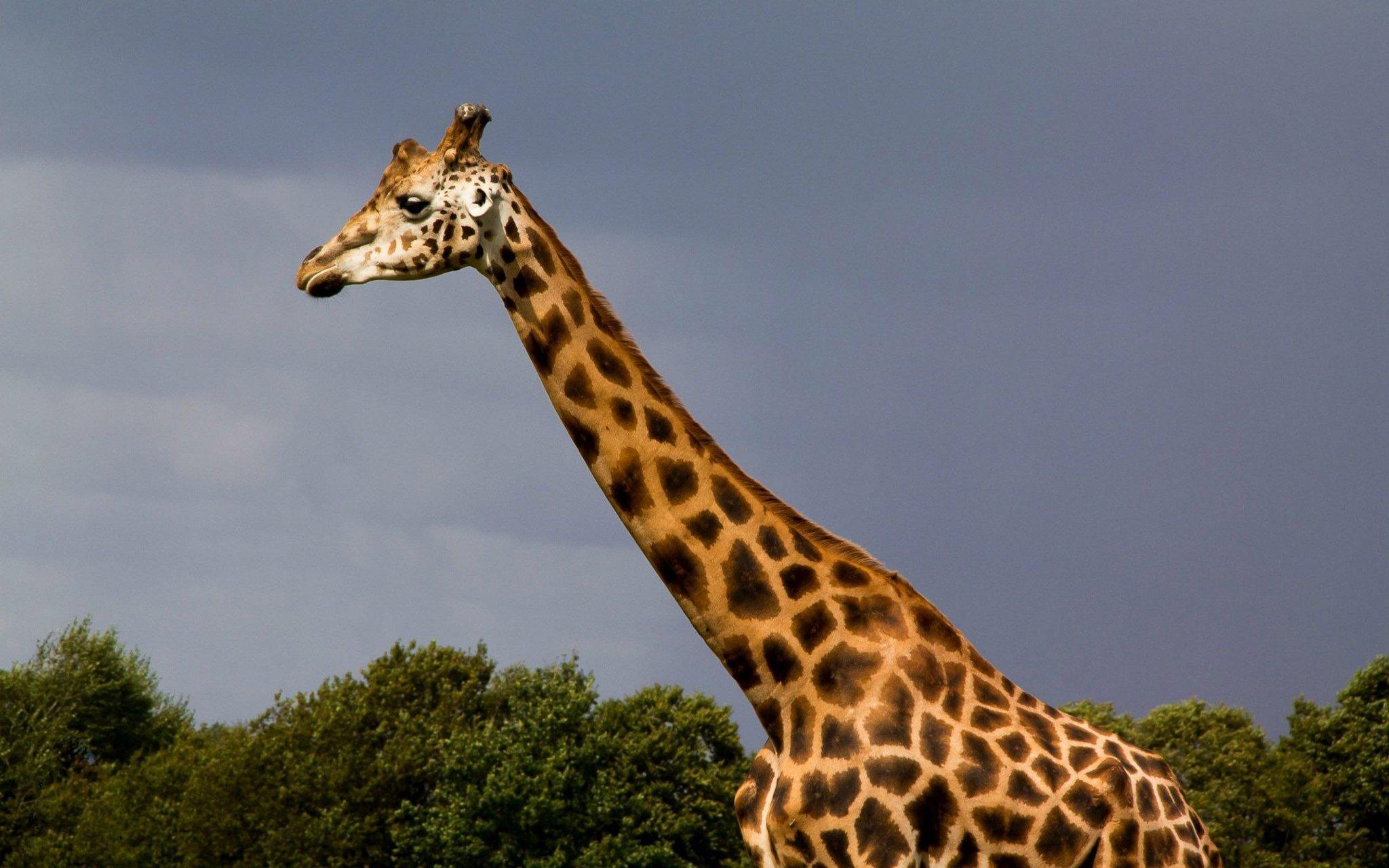 Картинки жирафов настоящих, утро