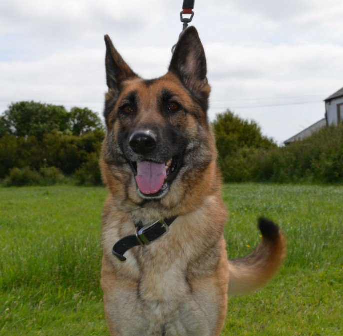 March 19 will see 11yr old Maddie&#39;s 4th year with us, she is looking for  a child and pet free garden to potter in and a comfy bed please  #dogs #GermanShepherd  #Cornwall  http:// gsrelite.co.uk/maddie/  &nbsp;  <br>http://pic.twitter.com/ea0ZuFgdB1