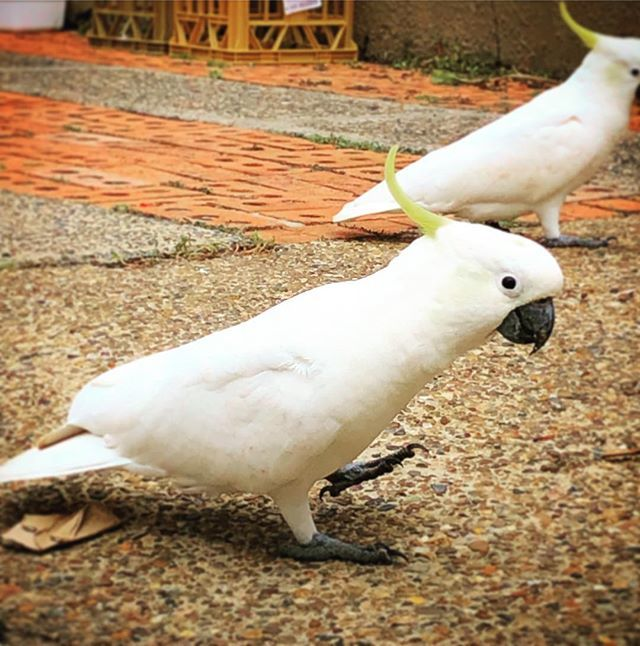 #loudbird #whitebird #cockatto #yellowcrane http://bit.ly/2Rhinzfpic.twitter.com/EDBltB96M2