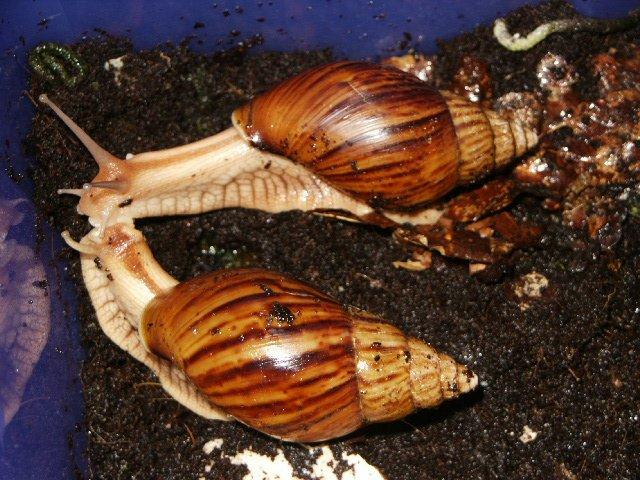 snail ahain varicoza