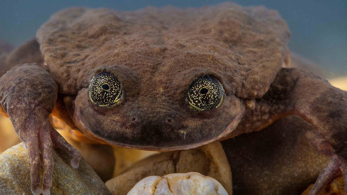 Romeo, the endangered water frog, may have found his Juliet