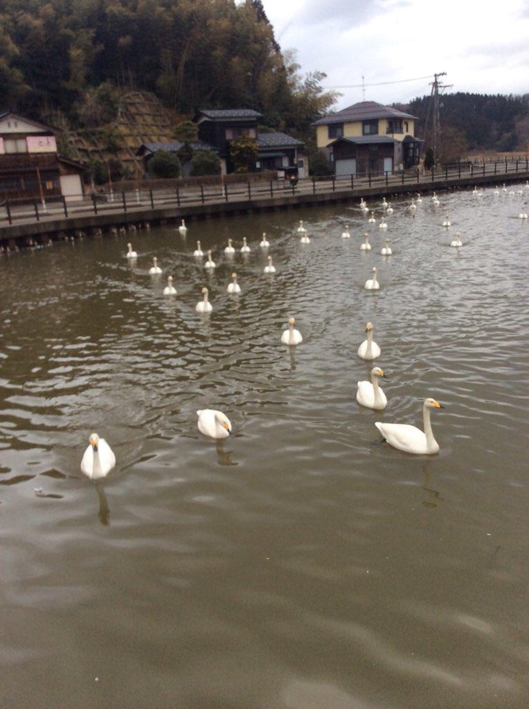 今日のように荒れた天候の日は白鳥にエサをあげる人が少ないんです。 僕の姿を見るとジワジワ寄ってきて大渋滞になります。  8枚入りの食パン4つがアッというまになくなりました。  最近話題の新潟県では瓢湖が有名ですが、あそこは鴨に占拠されてます。 ここはほぼ白鳥です。  #白鳥