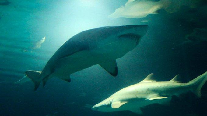 Investigadores del #CONICET brindan información sobre los tiburones y la pesca de esta especie que se encuentra amenazada en las costas marplatenses #BuenMiercoles Foto