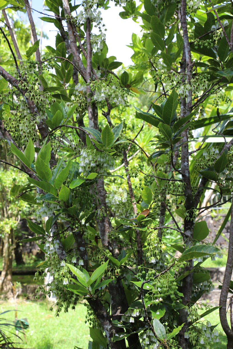 Can&#39;t get enough of Elaeocarpus bojeri (Bois dentelle), a Mauritius endemic and @IUCNRedList Critically Endangered shrub, flowering here in Monvert arboretum. The flowers are highly fragrant and full of bees. Sadly its natural habitat has been lost to deforestation &amp; invasives <br>http://pic.twitter.com/9GcfZIaCDu