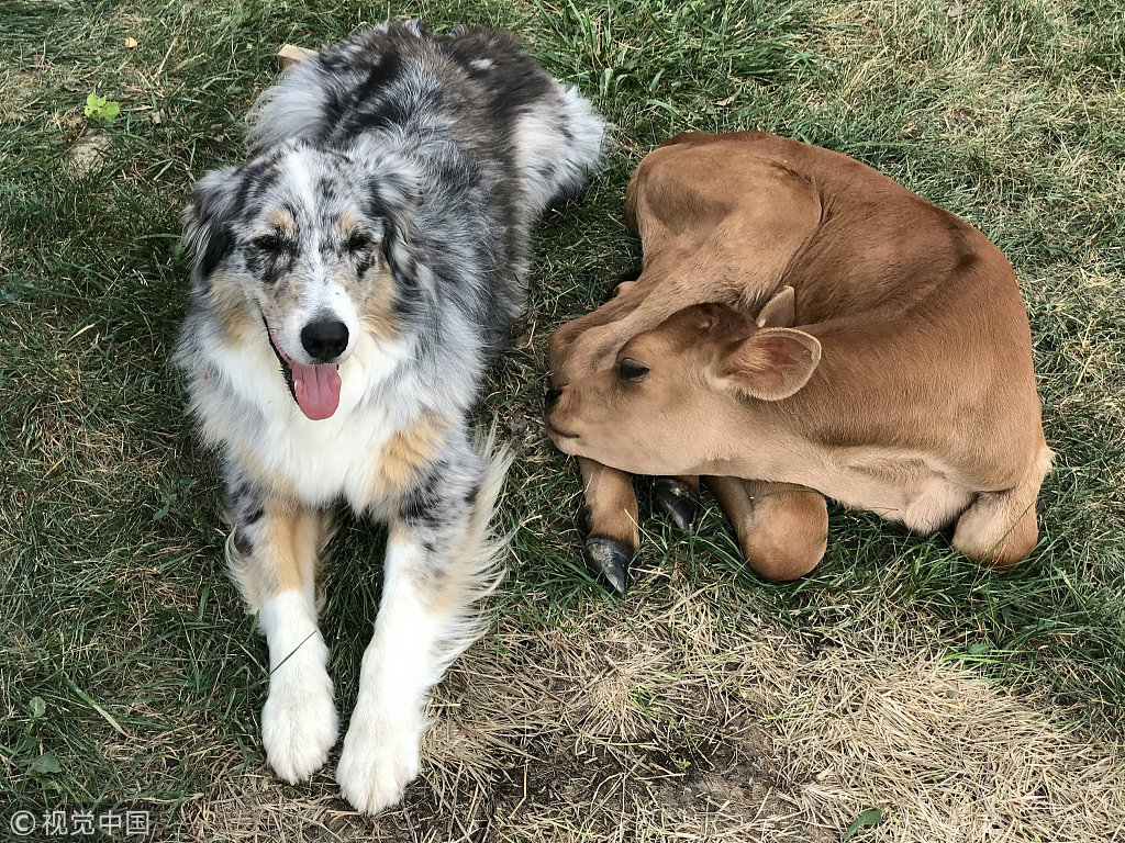 Calf rescued from slaughter becomes best friends with Australian shepherd <br>http://pic.twitter.com/X5aouEeZtP