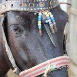 To protect livestock from disease & #evileye in #Albania, they are adorned w/ decorations to detract an envious gaze from the animal to the ornament. Horses & donkeys, in particular, are incredibly valuable to locals who need them for manual labor on farms & fields. #planthunter