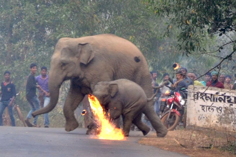 There is just nowhere left for #elephants to go. To feel safe. Farmers in Bishnupur, Indiathrow molotov cocktails at a mother and calf, to chase them away from crops. RT to remind everyone to #BeKindToElephants <br>http://pic.twitter.com/ZCvquPcG3b