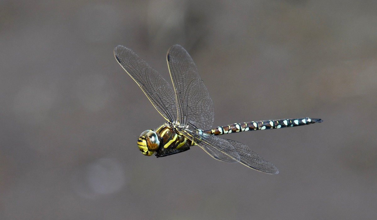 British @BDSdragonflies My best photo of 2018 was this Common Hawker taken in July 2018 at Waldegrave Pond Nr. Priddy. A very rare visitor.<br>http://pic.twitter.com/WEAJwY83LX