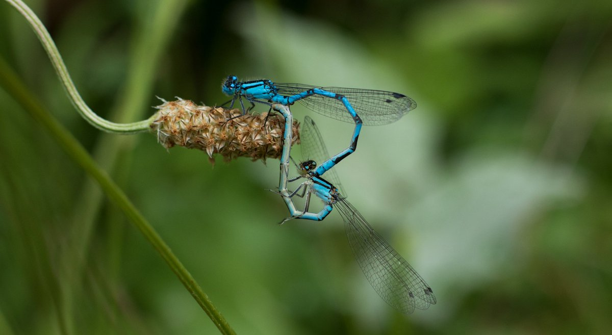 A pair of mating damselfly. #photography #photooftheday #bug #insect