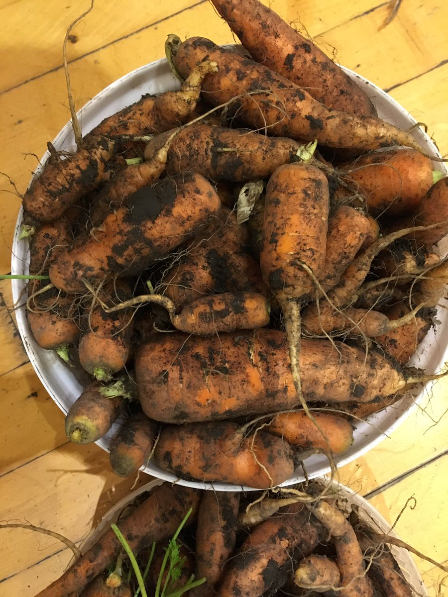 #dirtycarrots. #FantasticMrFox didn't pull them all up so there are plenty to put in the freezer for the #hungrygap which contrary to popular opinion is in spring #growyourown #eatseasonal https://t.co/8irVClnQnE