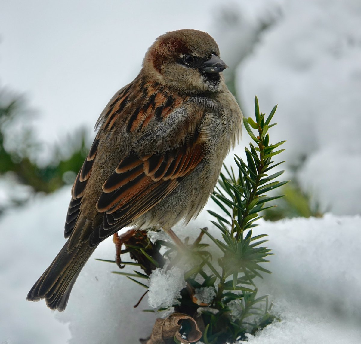 And in today's views: a house sparrow. <br>http://pic.twitter.com/nd8IqBKoCV