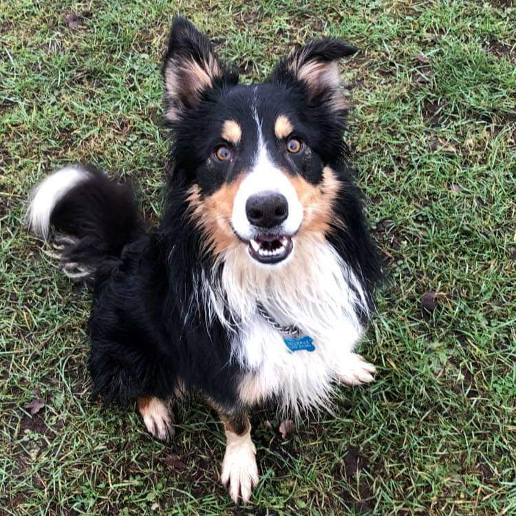 Have I told you about Ben? This beautiful 3 year old collie is becoming stressed in kennels and would love to find a home of his own. Could Ben be the one for you?#adoptdontshop #hilbraedogs #giveadogahome #rescuedog #woofwoofwednesday #Itsallaboutthedogs #TeamZay<br>http://pic.twitter.com/JLbSBQljg8